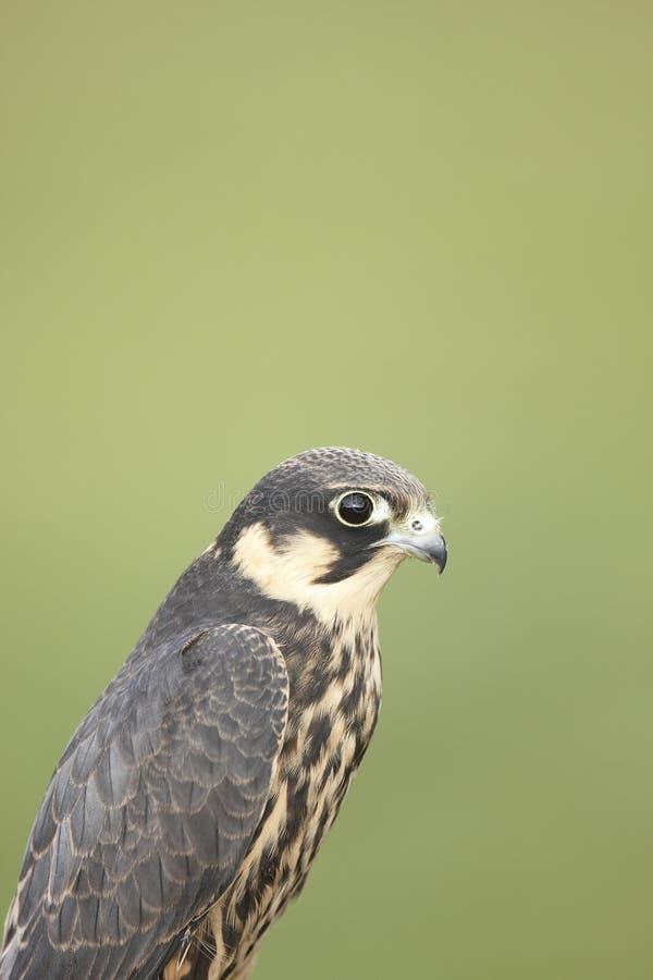 Download Hobby stock photo. Image of raptor, captive, avian, hobby - 21399692