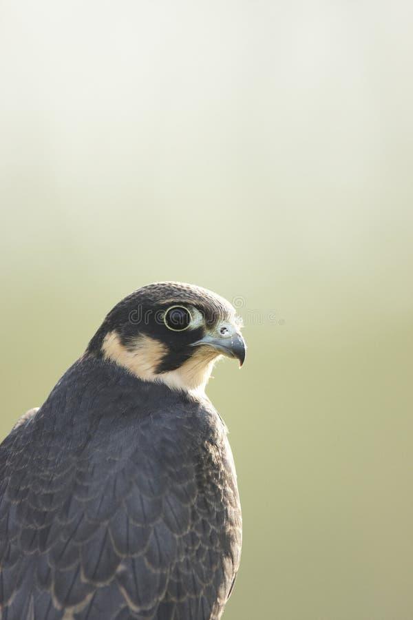 Download Hobby stock photo. Image of falcon, hobby, falco, predator - 21399838