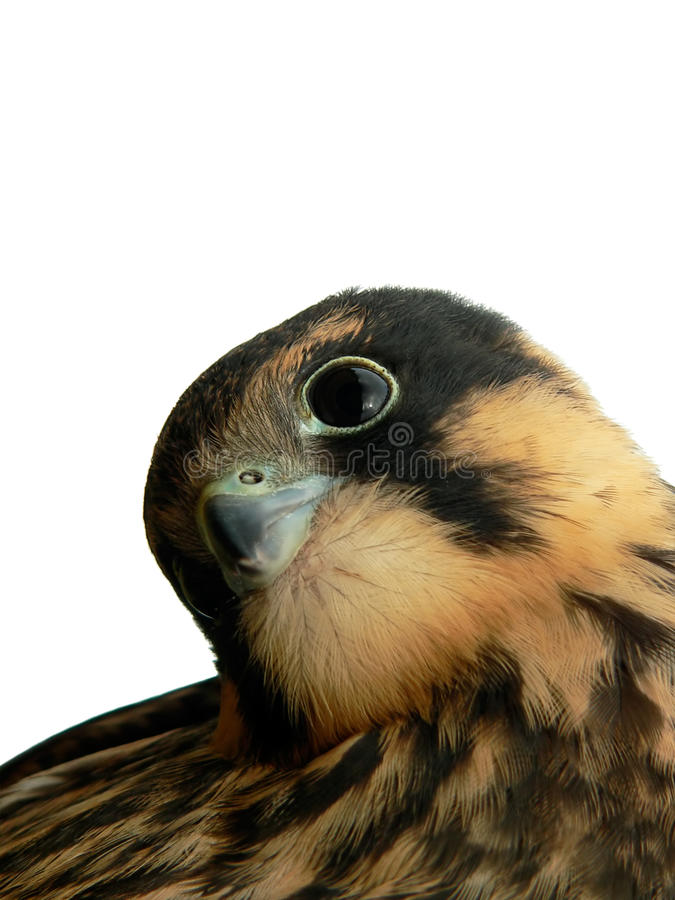 Download Hobby Falcon Royalty Free Stock Photography - Image: 11741387
