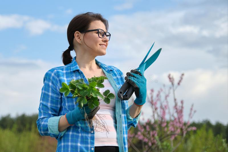 Female in gloves with garden tools holding strawberry bush stock photo