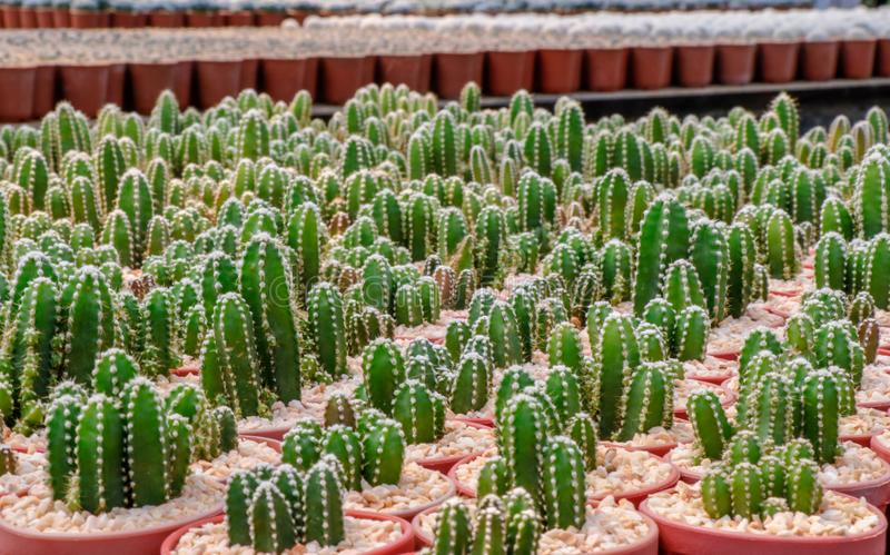 Cereus Peruvianus cactus. A hobby plants,Cereus Peruvianus is one of the largest in the cactus family Cactaceae stock image