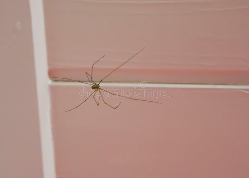 Hoch aufgeschosse Kellerspinne, die auf der Decke, ein cannibalistic Insekt sitzt, das seine eigene Art isst, wenn Nahrung Schrec lizenzfreies stockfoto