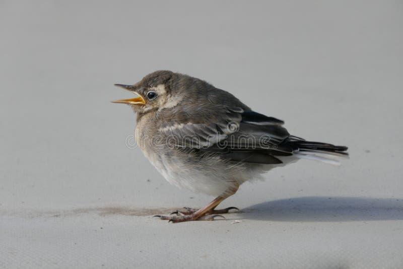 Hochequeue, Motacilla de jeune oiseau alba images libres de droits