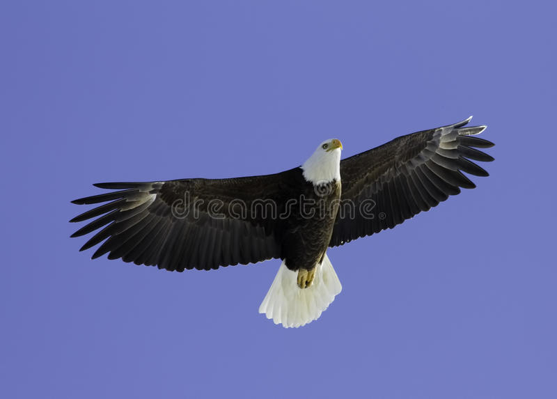 Hochfliegende Unkosten des kahlen Adlers. stockbild