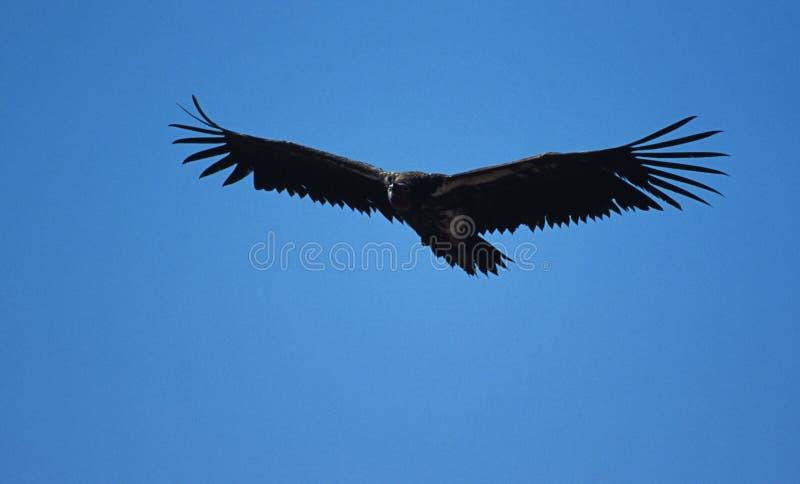 Download Hochfliegender Geier stockfoto. Bild von wildnis, afrika - 48618
