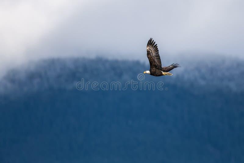 Hochfliegender Weißkopfseeadler nahe Harrison British Columbia stockbilder