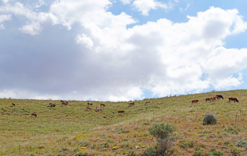 Hochland-Kühe auf einem Feld, Kahramanmaras, die Türkei lizenzfreie stockfotografie