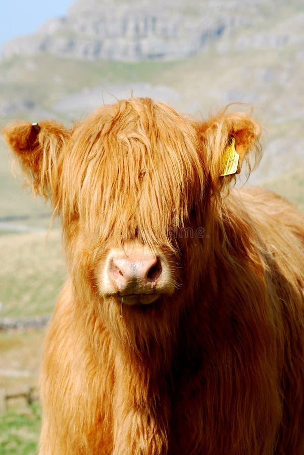 Hochland-Kuh stockbilder