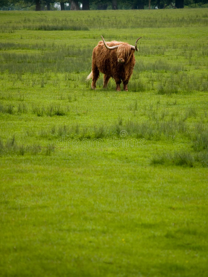 Hochland-Vieh stockbilder
