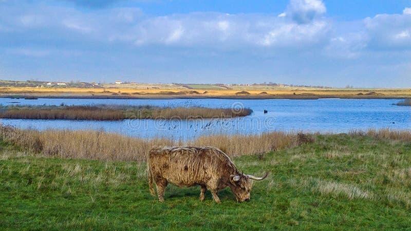 Hochland-Vieh auf Oare-Sümpfen stockfotos