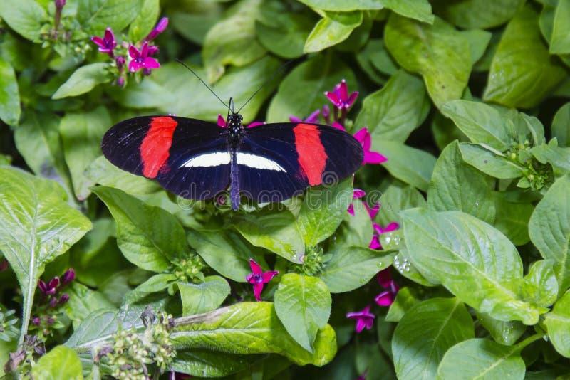 Hochroter Longwing-Schmetterling mit Flügel-Verbreitung stockfoto