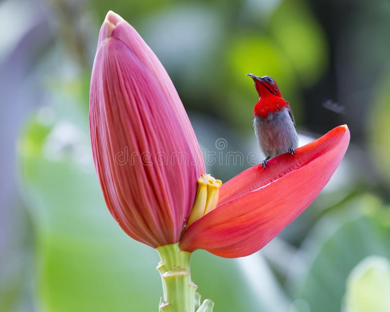 Hochrotes sunbird stockfotografie