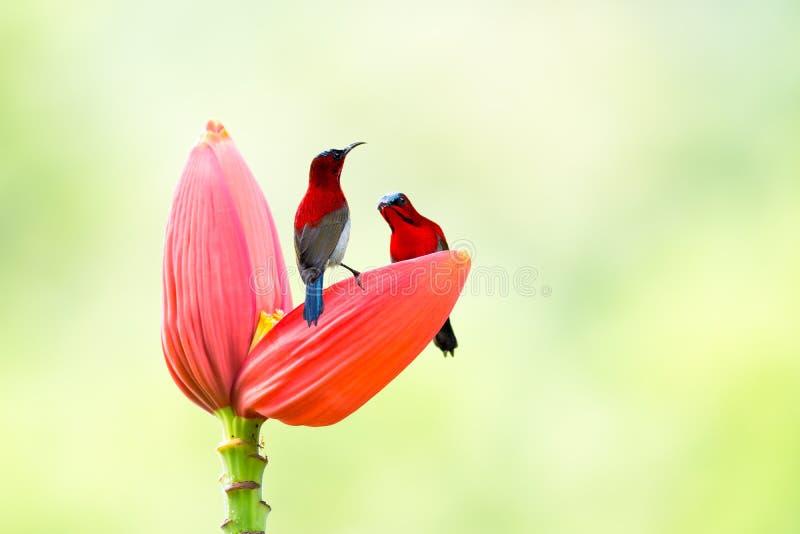 Hochrotes Sunbird auf Bananen-Kohl im tropischen Park stockfoto
