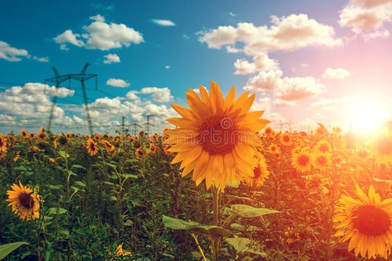 Hochspannungsleitungen auf dem Gebiet mit Sonnenblumen bei Sonnenuntergang lizenzfreie stockbilder