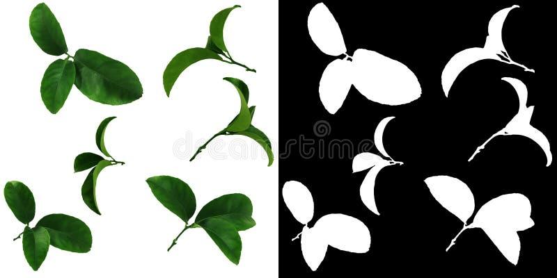 Hochwertige Einzelteile SET-6 Grüne Blätter der Tangerine werden über einem weißen Hintergrund plus Alpha Chan lokalisiert Endlos stock abbildung