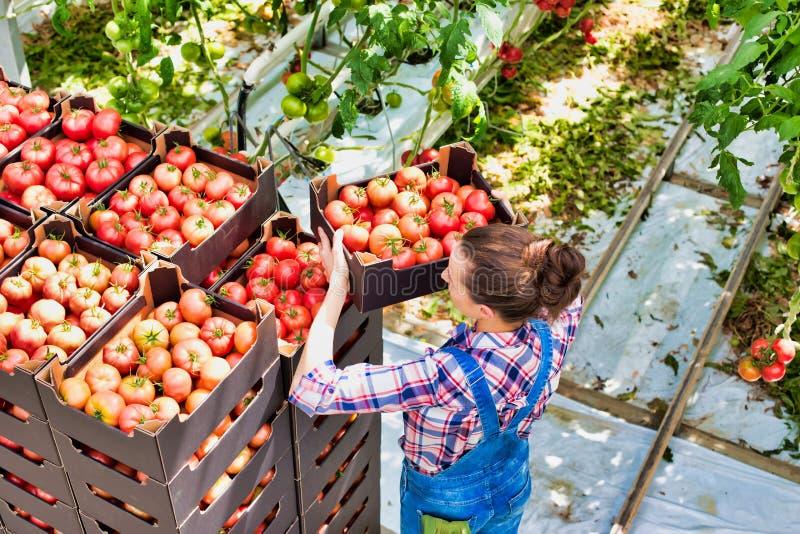 Hochwinkelaufnahme der Junglandwirte, die Tomaten in Kiste im Gewächshaus anordnen lizenzfreie stockbilder