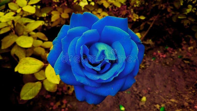 Hochzeit stieg Blume im Garten stockbilder