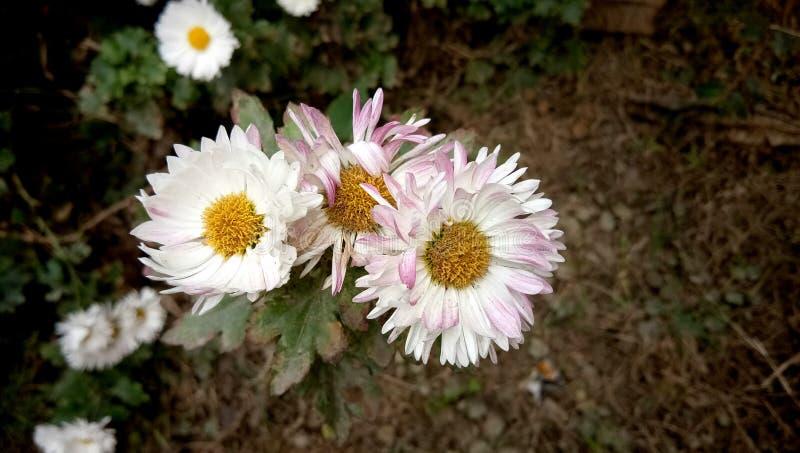 Hochzeit stieg Blume im Garten lizenzfreies stockfoto