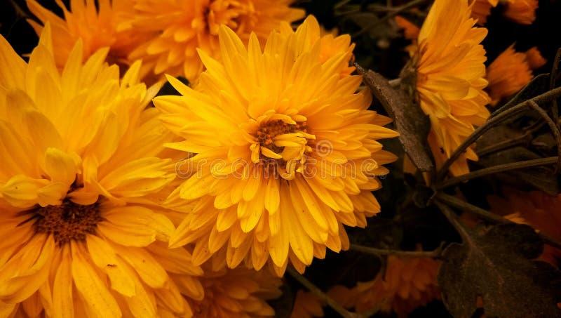 Hochzeit stieg Blume im Garten stockbild