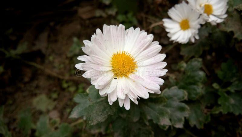 Hochzeit stieg Blume im Garten stockfotografie