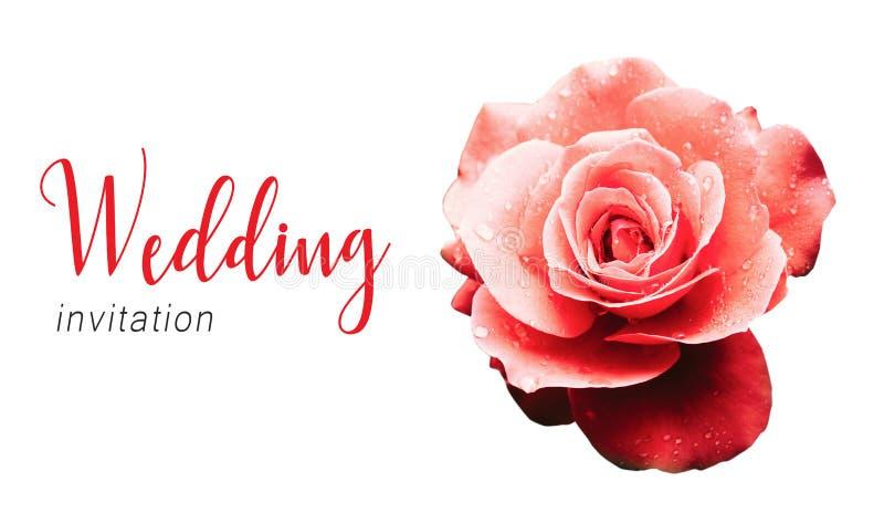 Hochzeitseinladungs-Textkartenschablone und rote Rosarose nach dem Regendetail mit einigen Wassertröpfchen lizenzfreies stockbild