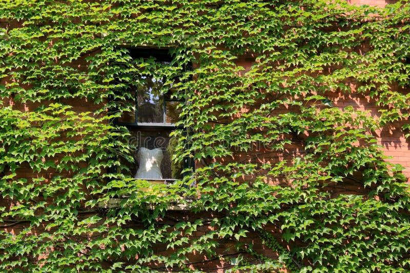 Hochzeitskleid im Fenster in der Wand bedeckt im grünen Efeu lizenzfreies stockfoto