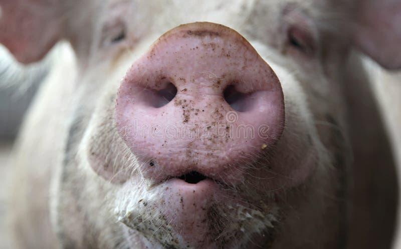Hocico del cerdo   imágenes de archivo libres de regalías
