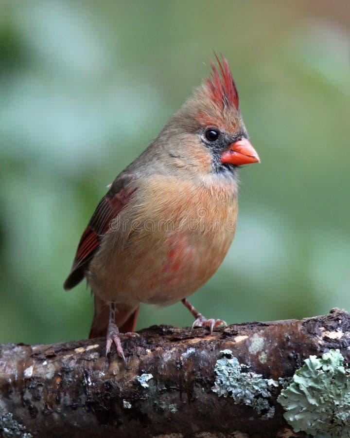 Hockender weiblicher Kardinal stockbilder