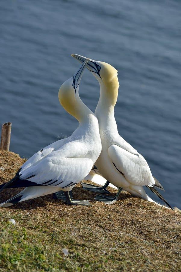 Download Hodować Gannets W Helgoland Obraz Stock - Obraz złożonej z sunshine, gannet: 57651131