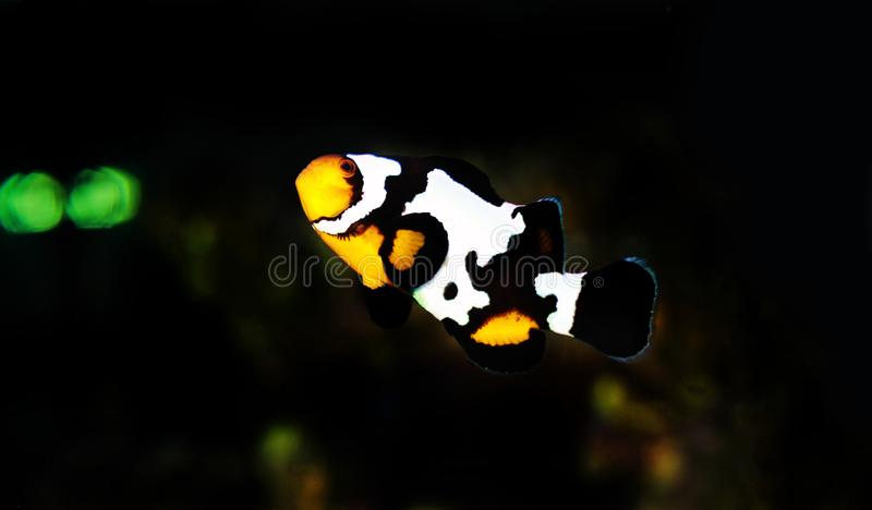 hodujący Czarnego lodu Ocellaris Clownfish, Amphriprion ocellaris - zdjęcia royalty free