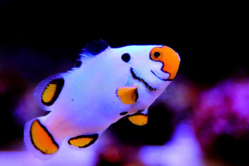hodujących Krańcowych Śnieżnych Onyksowych Clownfish, Amphriprion ocellaris x Amphriprion percula - obraz stock