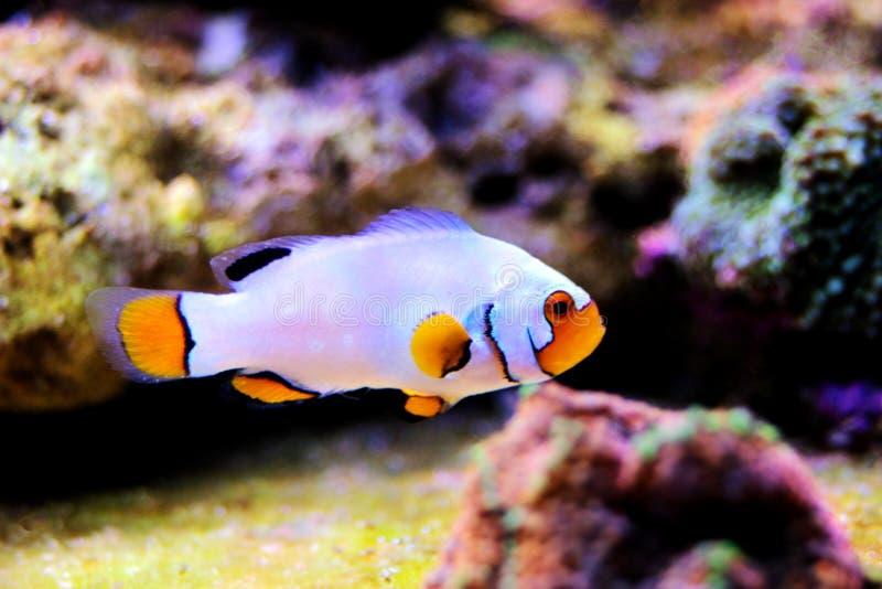 hodujących Krańcowych Śnieżnych Onyksowych Clownfish, Amphriprion ocellaris x Amphriprion percula - zdjęcia royalty free