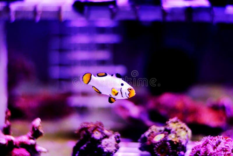 hodujących Krańcowych Śnieżnych Onyksowych Clownfish, Amphriprion ocellaris x Amphriprion percula - obrazy stock