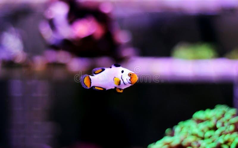 hodujących Krańcowych Śnieżnych Onyksowych Clownfish, Amphriprion ocellaris x Amphriprion percula - zdjęcie stock