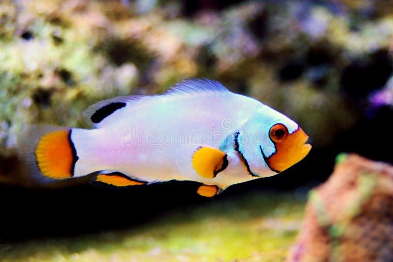 hodujących Krańcowych Śnieżnych Onyksowych Clownfish, Amphriprion ocellaris x Amphriprion percula - obrazy royalty free