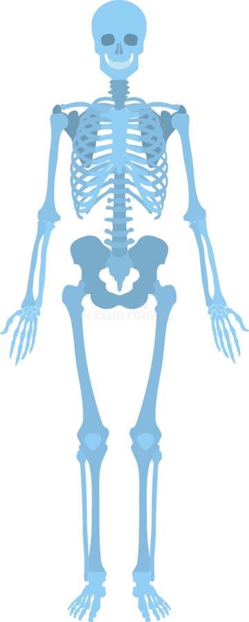 Hoe het menselijke skelet als kijkt stock illustratie