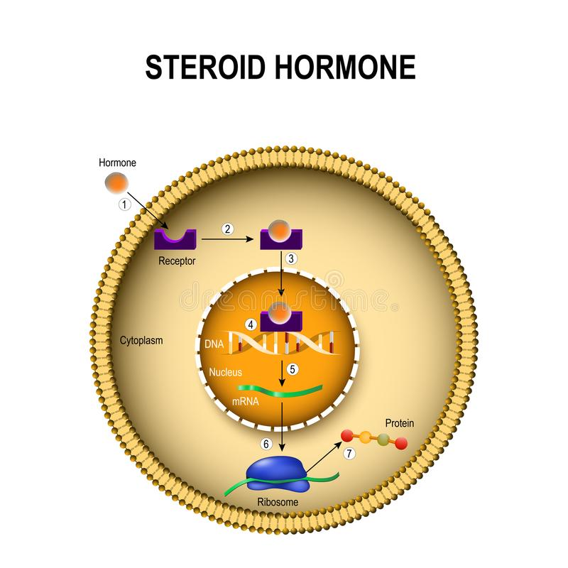 Hoe steroid hormonen werken vector illustratie