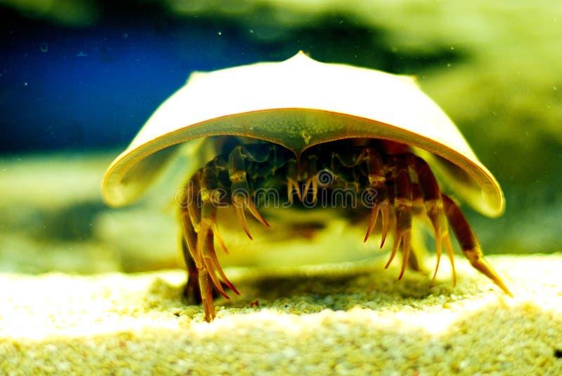 Hoefijzer krab stock afbeelding