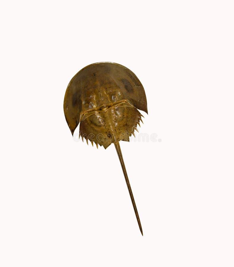 Hoefijzerdiekrab als voedsel en decoratie wordt gebruikt Geïsoleerde stock foto