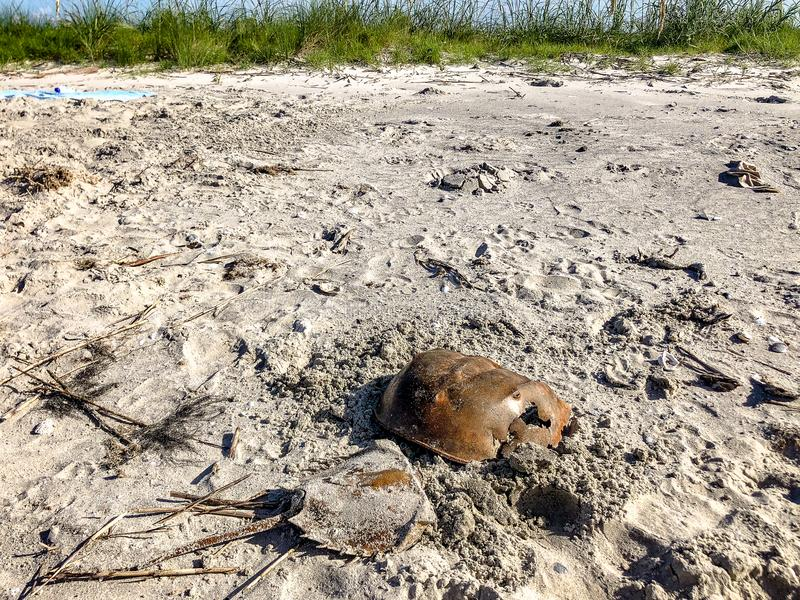 hoefijzerkrabben in het zand stock foto's