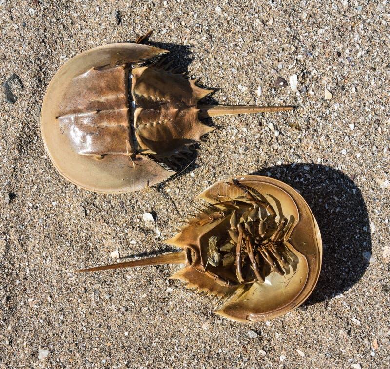 Hoefijzerkrabben - zowel hoogste shell als de zachte onderkant op zand stock foto