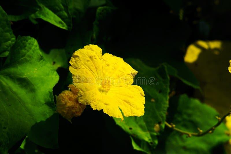 Hoekige luffabloemen in mooie geel stock foto's