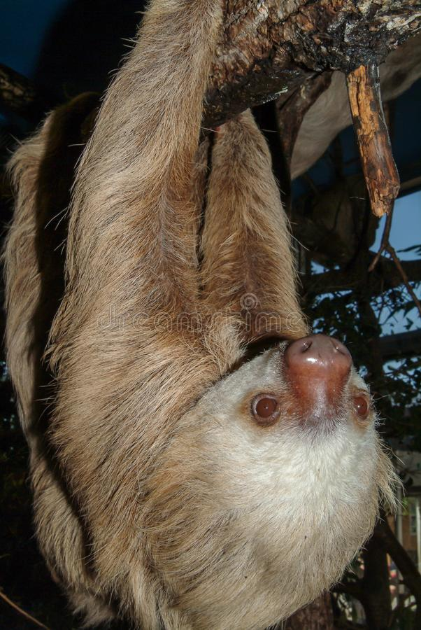 A hoffmann`s Two-toed Sloth, Choloepus hoffmannii. stock image
