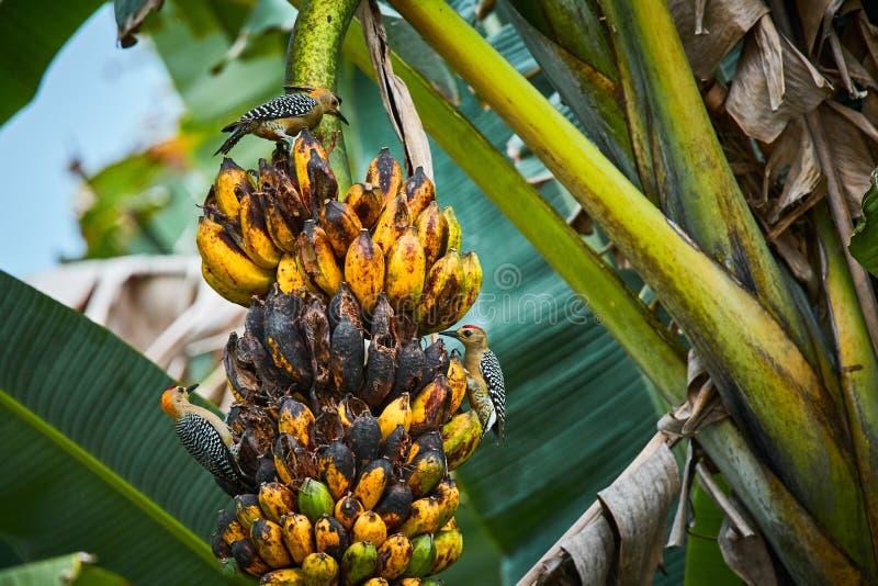 Hoffmannii van Melanerpes van de Hoffmannsspecht het voeden op banaantå™ee Het wildscène van Costa Rica royalty-vrije stock afbeeldingen