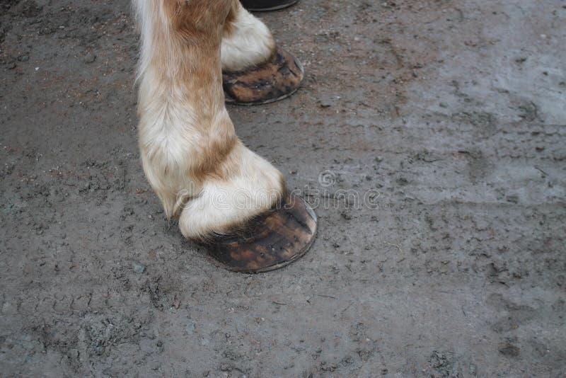 Hoffs de l'avant deux de cheval de labour avec des chaussures photos libres de droits
