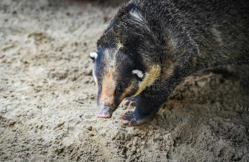 Hog badger - Arctonyx collaris Badger Greater hog stock photography