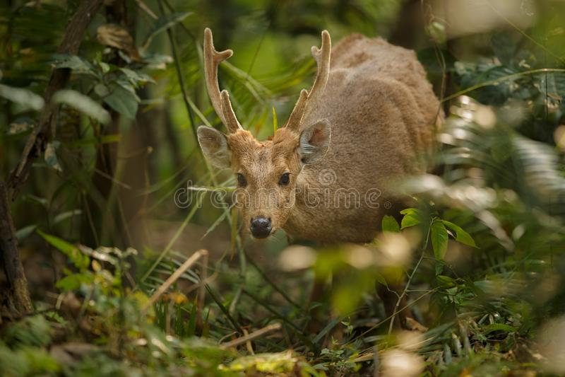 Hog cervos na pastagem de Kaziranga em Assam imagem de stock