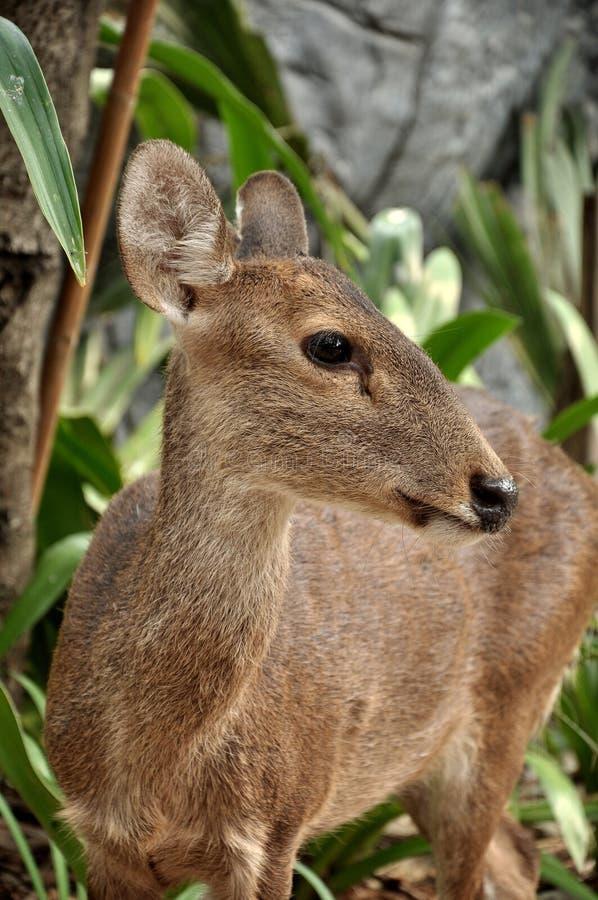 Download Hog Deer Stock Photography - Image: 24577022