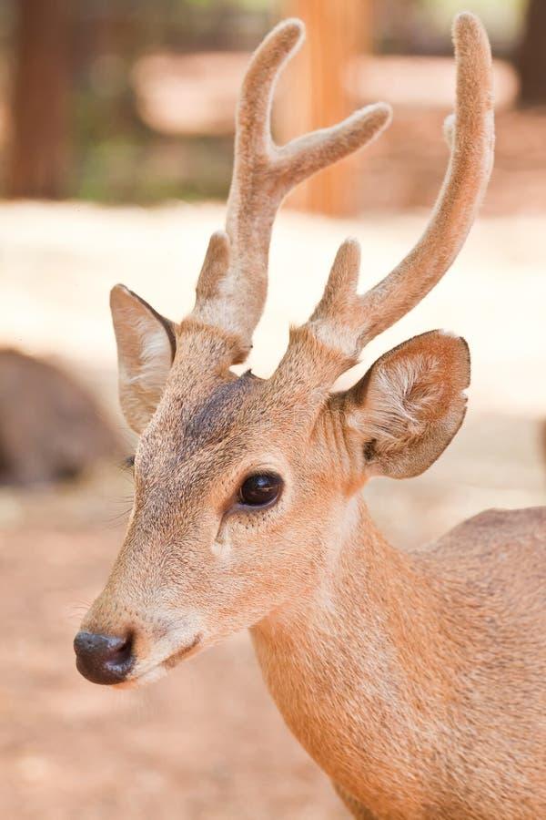 Download Hog deer close up stock photo. Image of cute, prey, field - 24426152