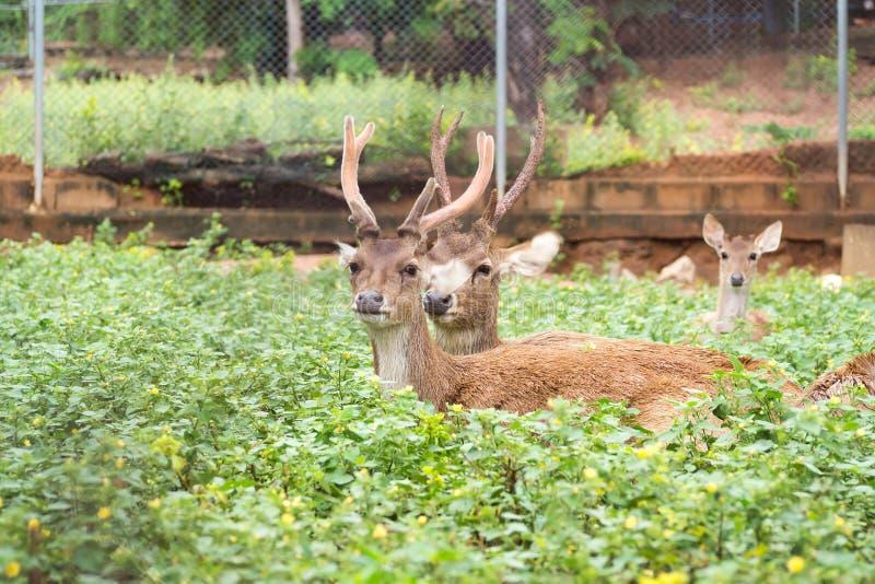 Hog deer. Hog deer in field. Wildlife animal. Hyelaphus porcinus. Shooting pass wire of cage. Fade shade color tone stock photography